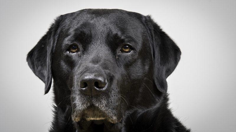 Marley labrador, elinchrom studiolys. Foto: Kristin B. Bruun