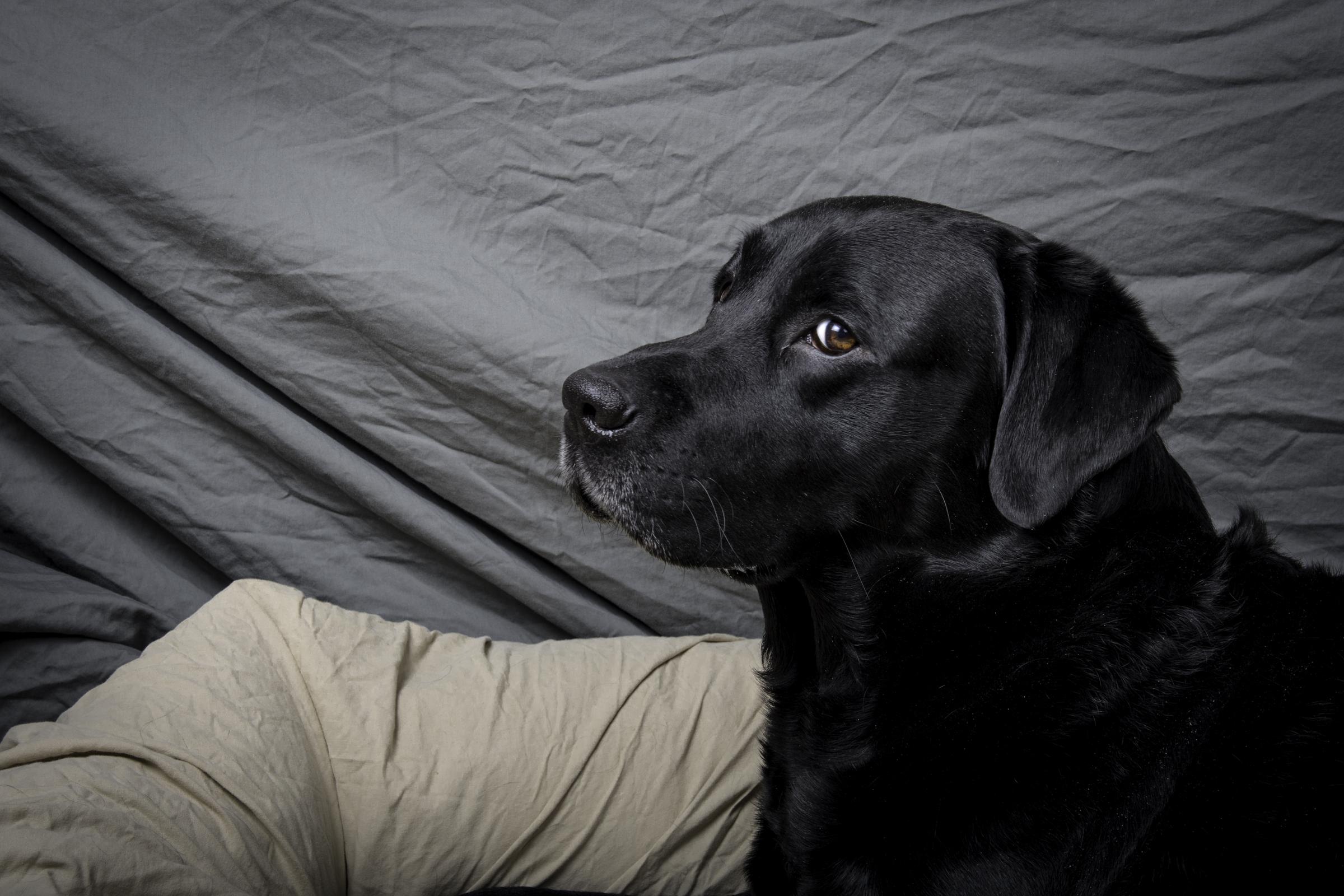 Labrador Marley har fått nok av studioblitz. Foto: Kristin B. Bruun
