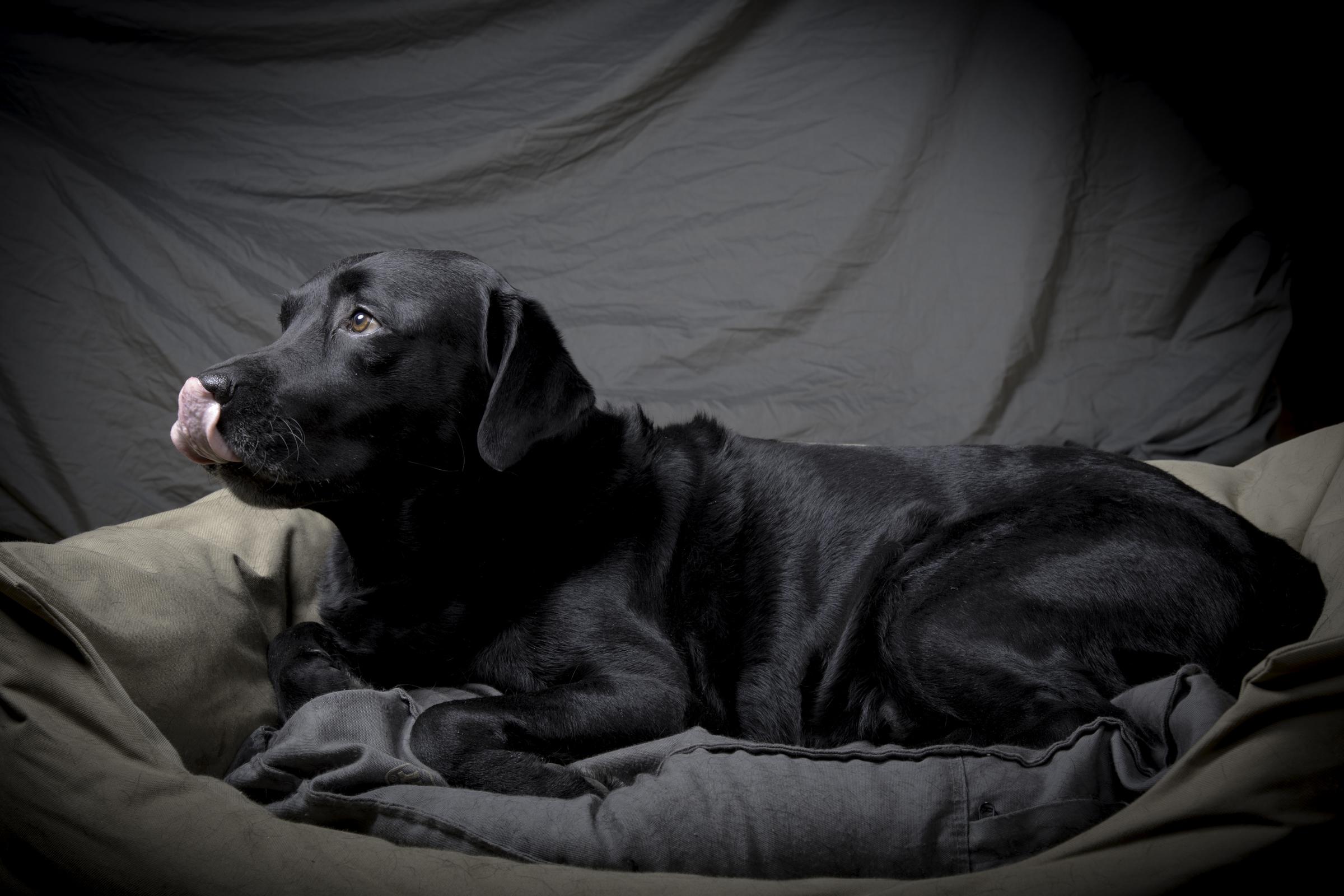Marley labrador synes det blir mye lys med studioblitz. Foto: Kristin B. Bruun