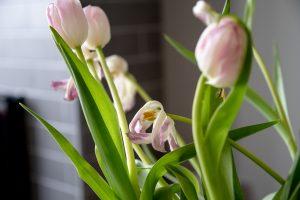 Tulipaner. Foto: Kristin B. Bruun