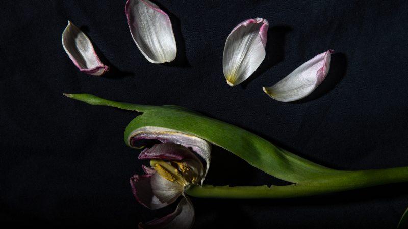Tulipanenes svanesang