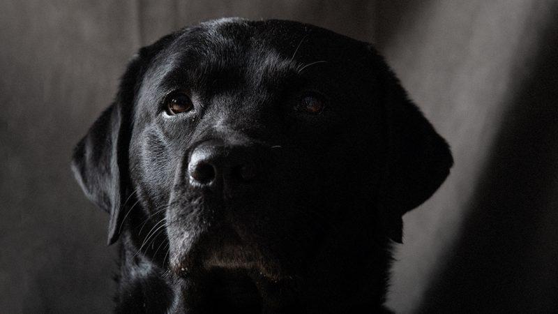 Marley labrador - foto: Kristin B. Bruun